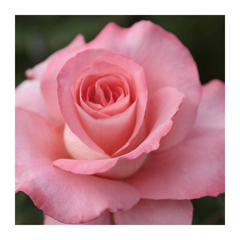 Rosal Prestige de Lyon