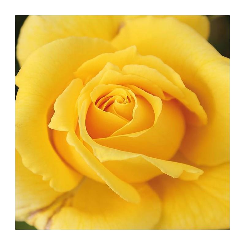 Rosal solidor
