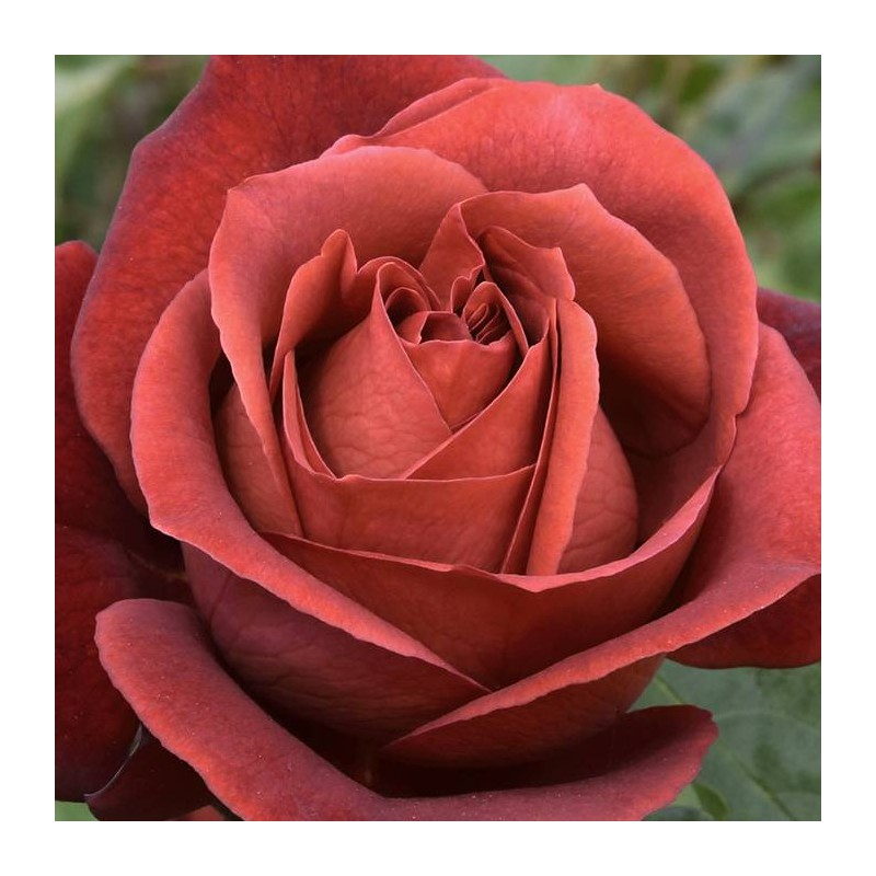 Rosal Terracota