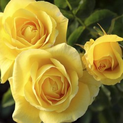 Rosal Carte D'or
