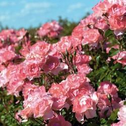 Rosal Jardins de France