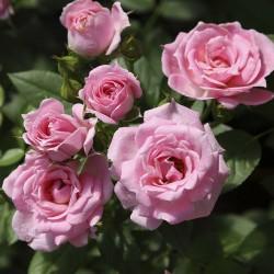 Rosal Belle Symphonie