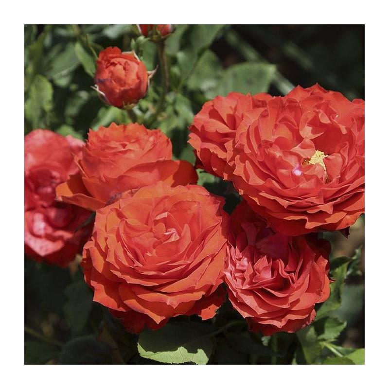 RosalL Orange Symphonie