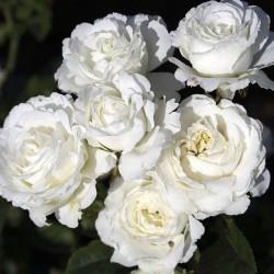 Rosal Snow Meillandina