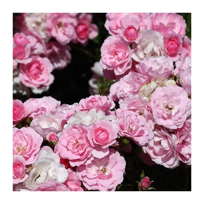 Rosal bonica 82