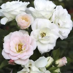 Rosal Pearl La sevillana