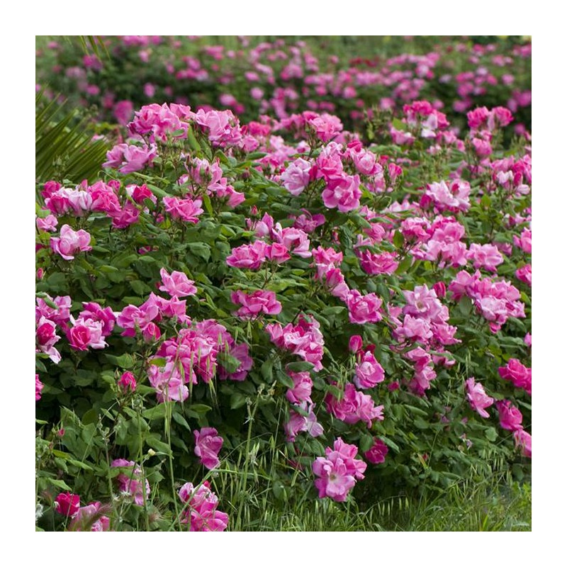 Rosal Pink Knock Out