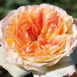 Rosal Alphonse Daudet