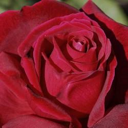 Rosal trepador chrysler imperial
