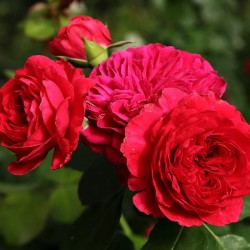 Rosal red leonardo da vinci