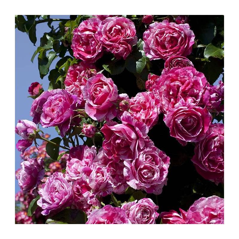 Rosal trepador ines sastre