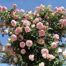 Rosal trepador pierre de ronsard