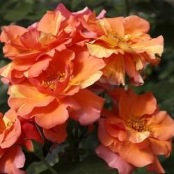 Rosal trepador sorbet fruite