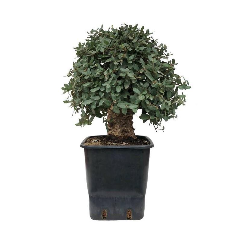 Pre-bonsai quercus suber