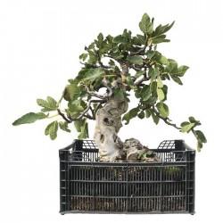 Ficus Carica Pre-bonsai