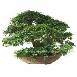 Bonsai Ligustrum sp.
