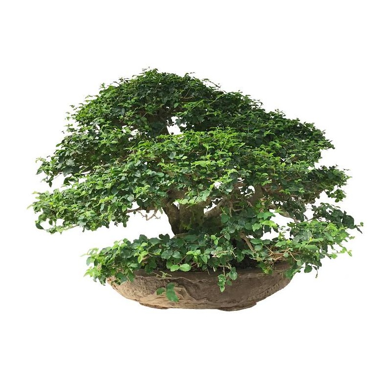 Bonsai Ligustrum sp.