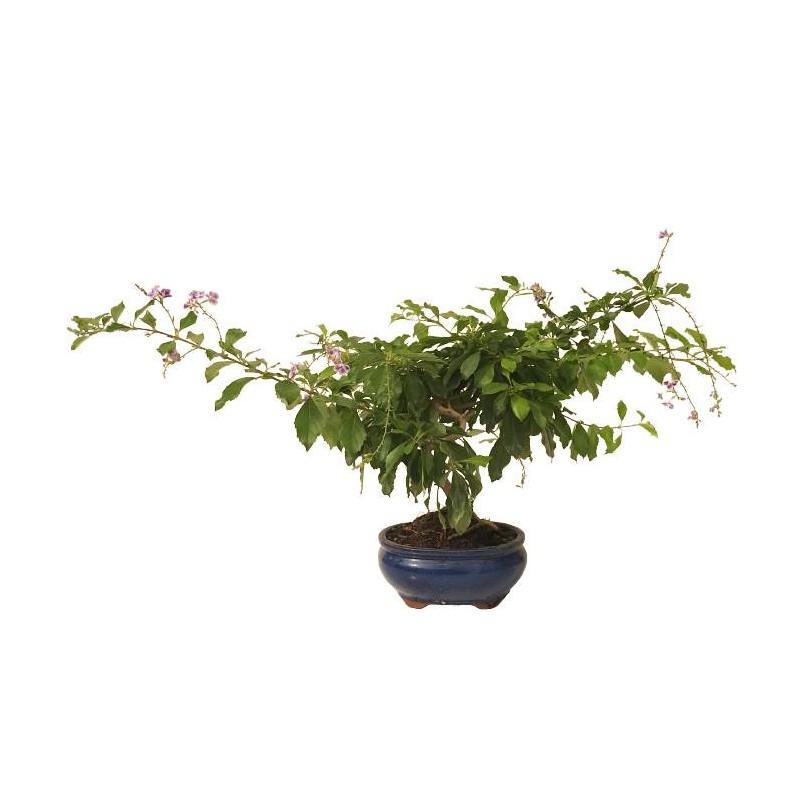 Bonsai durantha repens