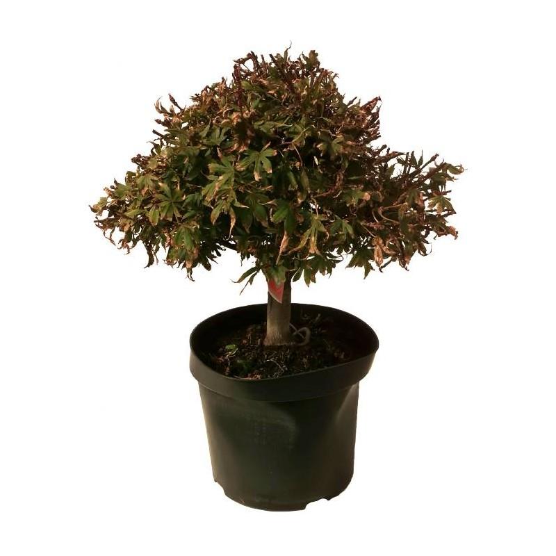 Pre-bonsai Acer palmatum shaina.