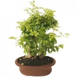 Bonsai ligustrum aurea