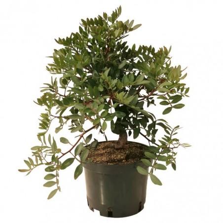 Pre- Bonsai Pistacia Lentiscus 8 años