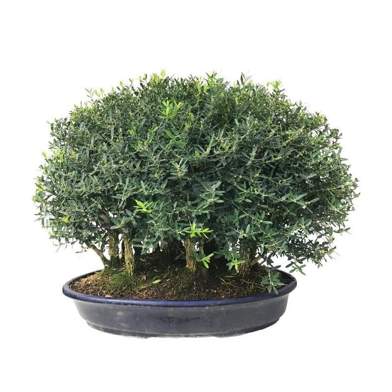 Buxus en forma de bosque
