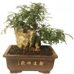 Bonsai Zanthoxylum Piperitum 23 años
