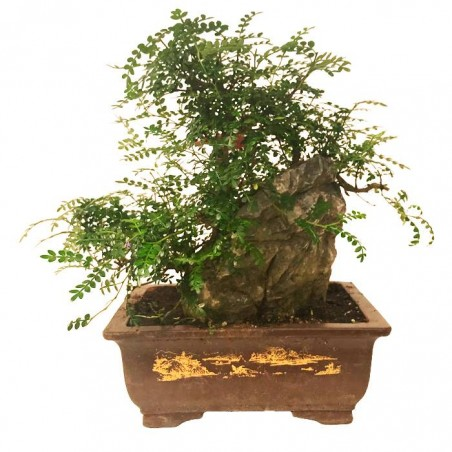 Bonsai Zanthoxylum Piperitum 23 años
