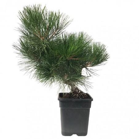 Pre- bonsai Pinus Thunbergii 19 años