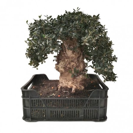 Pre-bonsai olea europaea 25 años