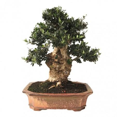 Bonsai Olea Europaea 29 años