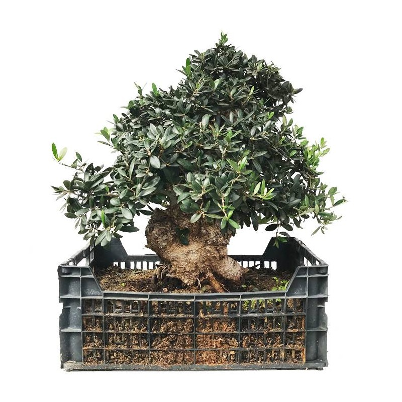 Pre-Bonsai Olea Europaea 26 años