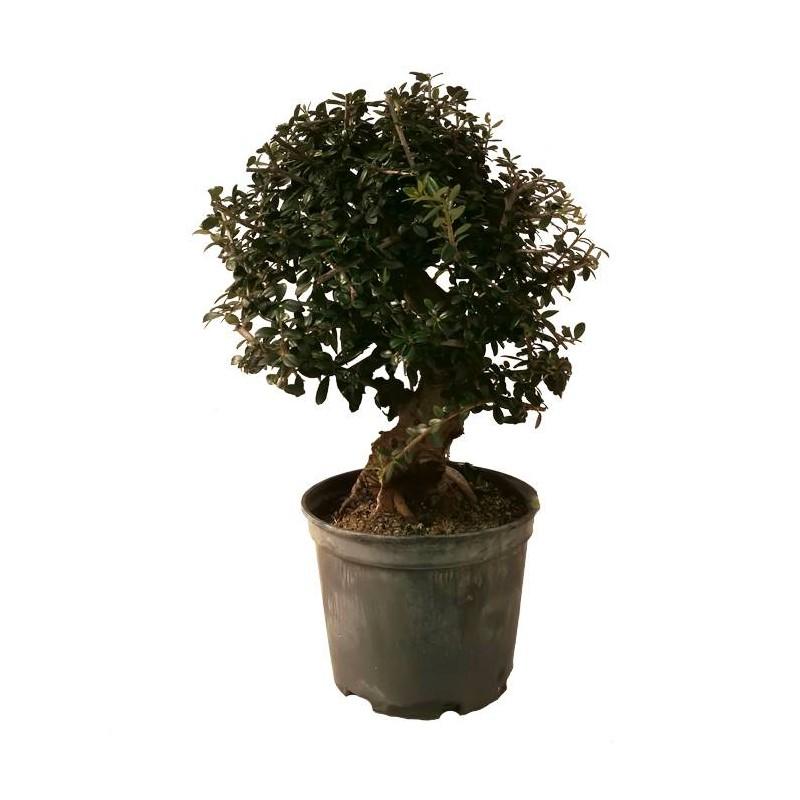 Pre-Bonsai Olea Europaea Sylvestris 12 años
