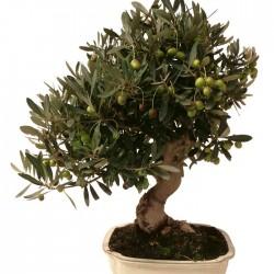 Pre-bonsai olea europaea sylvestris