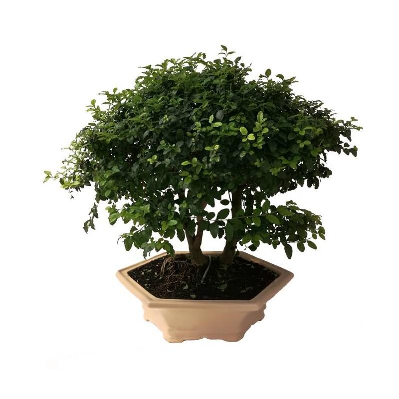 Bonsai Ligustrum s.p. 10 años