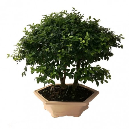 Bonsai Ligustrum s.p. 10 años