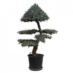 Olea europaea ornamental Niwaki