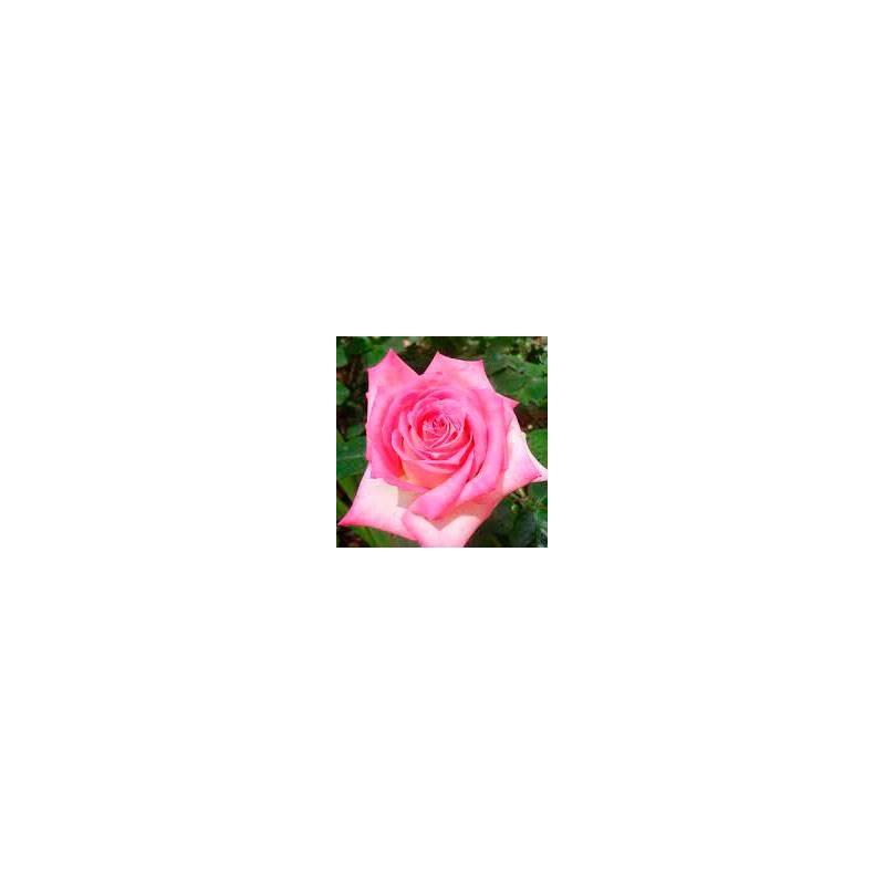 Rosal trepador Kordes perfecta