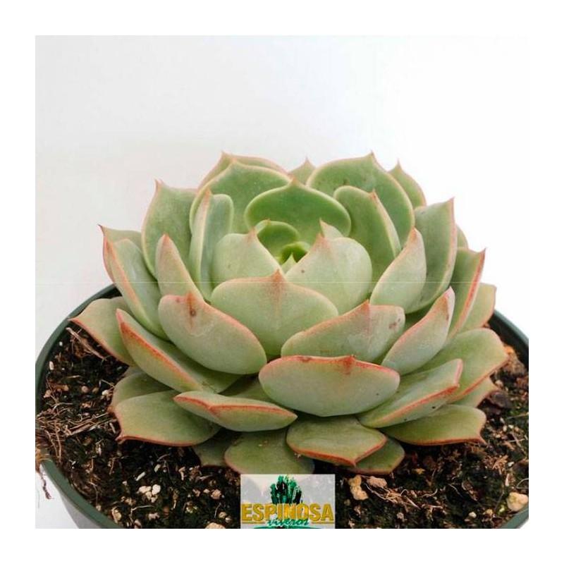 Cactus echeveria ramillete