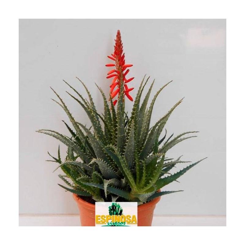 Cactus aloe spinosissima