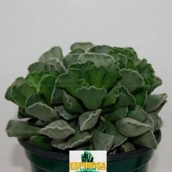 Cactus adromischus cristatus