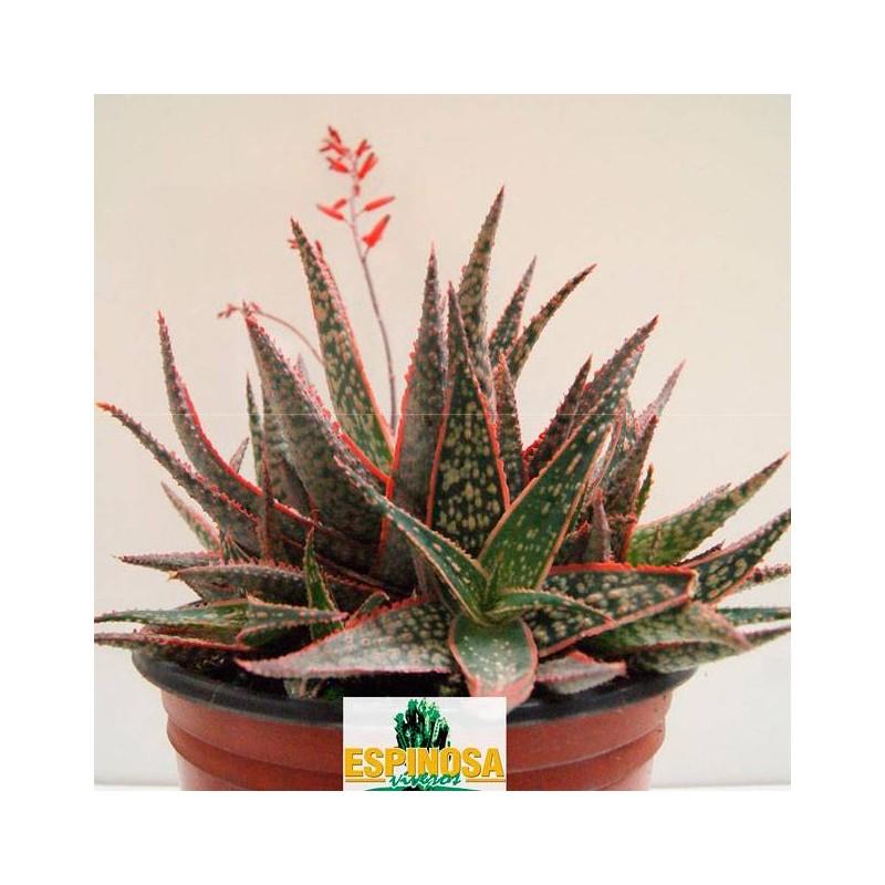 Cactus aloe dannyz