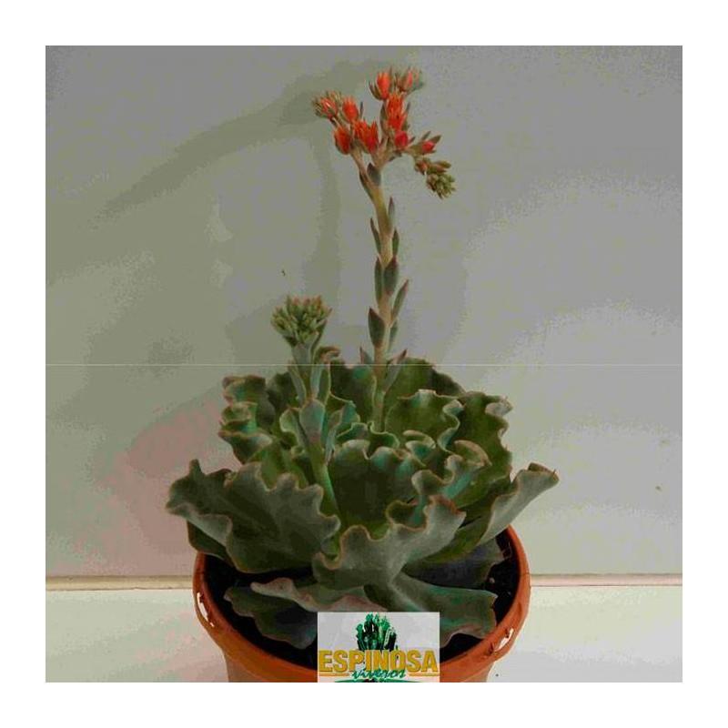 Cactus echeveria dorothy