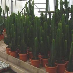 Euphorbia Lactea