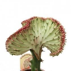 Euphorbia lactea cristata de tronco alto