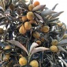 Kumquat variegata