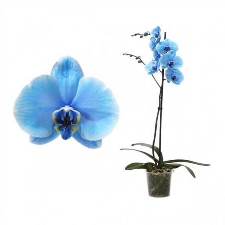 Orquídea phalaenopsis royal blue (azul claro)