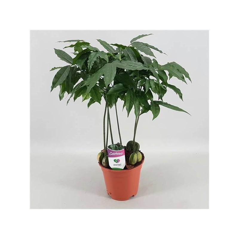Castanospermum cast. magnifico