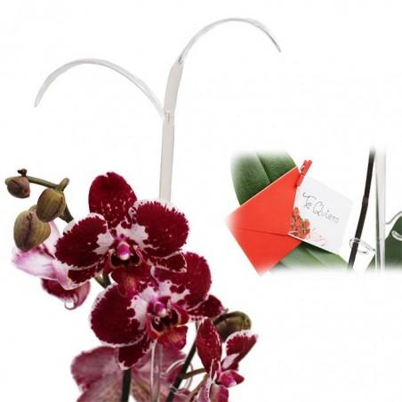 Orquídea phalaenopsis dos varas + tutor+ targeta con mensage.