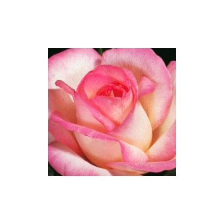 Rosal sea pearl